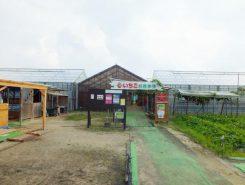 冬から春にかけて大人気のいちご農園