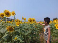 子どもの背丈ほどのひまわりが、休耕田を明るく黄色に染める