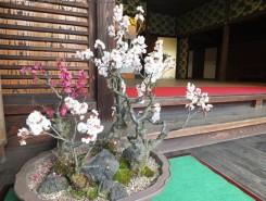 玄関付近の盆梅は満開