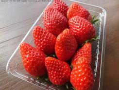 真っ赤で大粒の摘みたていちご
