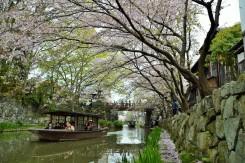 桜の花びら舞う中を進む船。船から眺める町並みも格別の美しさ