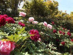 花びらの豪華さと気品が他を圧倒するものとして「花王」「花神」の別称を持つ牡丹