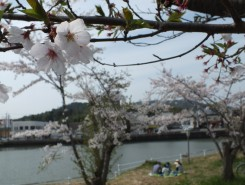 池の周囲を囲むように約1000本の桜が植えられている