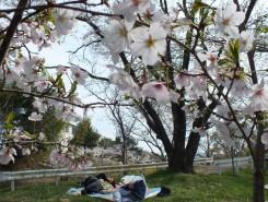 桜の下でお昼寝
