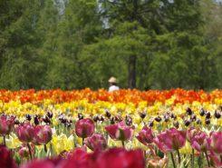 チューリップの花が~♪