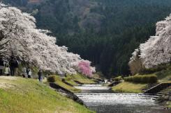 美しい桜と澄んだ空気、川を流れる水の音に癒される