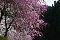 種類の異なる桜が楽しめる