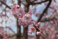 咲くや鮎河さくらまつりが開催された
