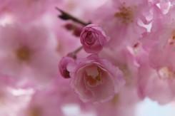咲き始めたとてもかわいい桜