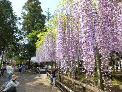 見ごろを迎えた三大神社の藤の花