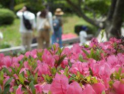 サツキの見頃は6月中頃まで。これからの季節はアジサイも楽しめる