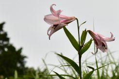ササユリは甲賀市の「市の花」でもある