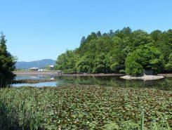 お寺の周りの池ではスイレンも咲き始めた