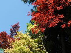 ふと見上げると青空と紅葉のコントラストも美しかった