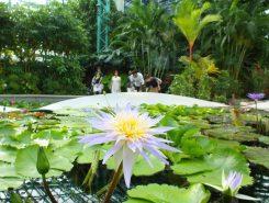 ハス・スイレンの種類は日本有数!できれば花の観賞は午前中がおすすめ