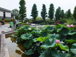 7月25日(土)・26日(日)には「ハス祭り」が開催される