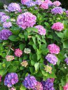 花の色が七変化するのがアジサイの魅力。同じ株でも微妙に花の色が違う