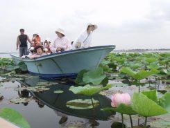 見ごろを迎える琵琶湖岸のハス群生地を湖上から見物できる「ハスクルージング」が人気(※要予約)