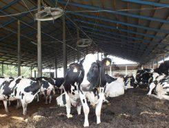 牛舎には約170頭の牛が飼われている