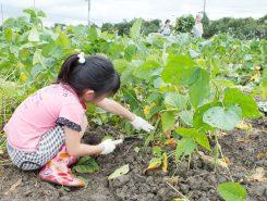 毎年恒例のえだ豆収穫体験