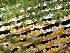 屋根に降り積もったイチョウの葉