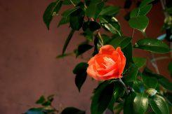 この椿の花は砂糖などで作られている。さすが和菓子の郷、職人さんの技が楽しめる