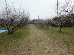 広い敷地に280本の梅