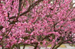 見ごろを迎えた梅の花