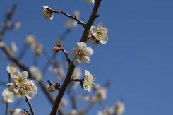 城州白梅を中心に約千本の梅が楽しめる