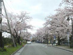 びわ湖大津館まで続く桜のトンネル