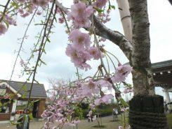 ヘレンケラーゆかりの桜