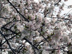 見上げし桜、きれいだな