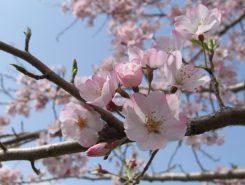 こちらの桜は小松乙女という品種