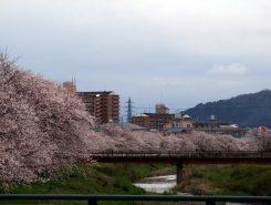 びわ湖よし笛ロード(右岸約5㎞)には650本もの桜が植えられている