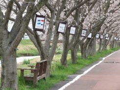 桜並木とベンチ、そして子どもたちの描いた絵のぼんぼり