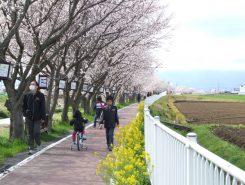 桜の下を歩くひととき