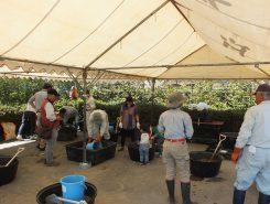 参加者を時間帯で4班に分けて、早速、作業開始!土から練るプロ使用の作業