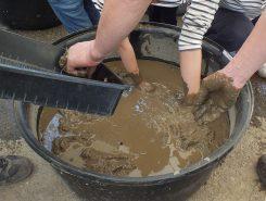 土が味噌くらいの硬さに仕上げたら、いよいよレンコンの植え付けに