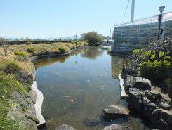 この池がハスの花でいっぱいになるのは、7月下旬頃