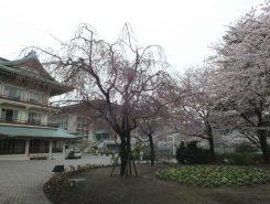 びわ湖大津館前のしだれ桜はこれからが見ごろ