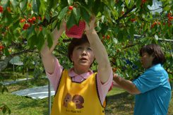 摘み取ったさくらんぼは赤い篭へ