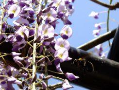 花粉を集めるのに大忙しのクマバチ