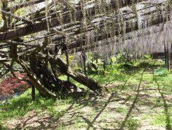 樹齢300年を超す立派な古木