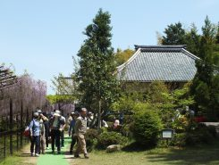 多くの観光客が訪れる藤の寺「正法寺」