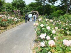たくさんのバラの中を散策