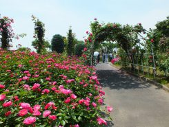 たくさんのバラが咲く園内