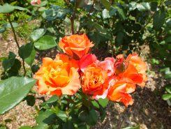 珍しい色合いのバラも