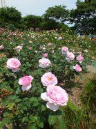 園内はバラの甘い香りでいっぱい