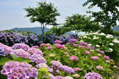約1000本のアジサイが植えられている