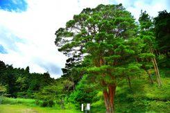 天然記念物の「うつくし松」を見に行こう